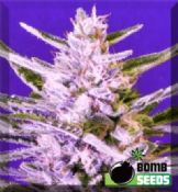 Ice Bomb where to get cannabis seeds female Safe UK Supply